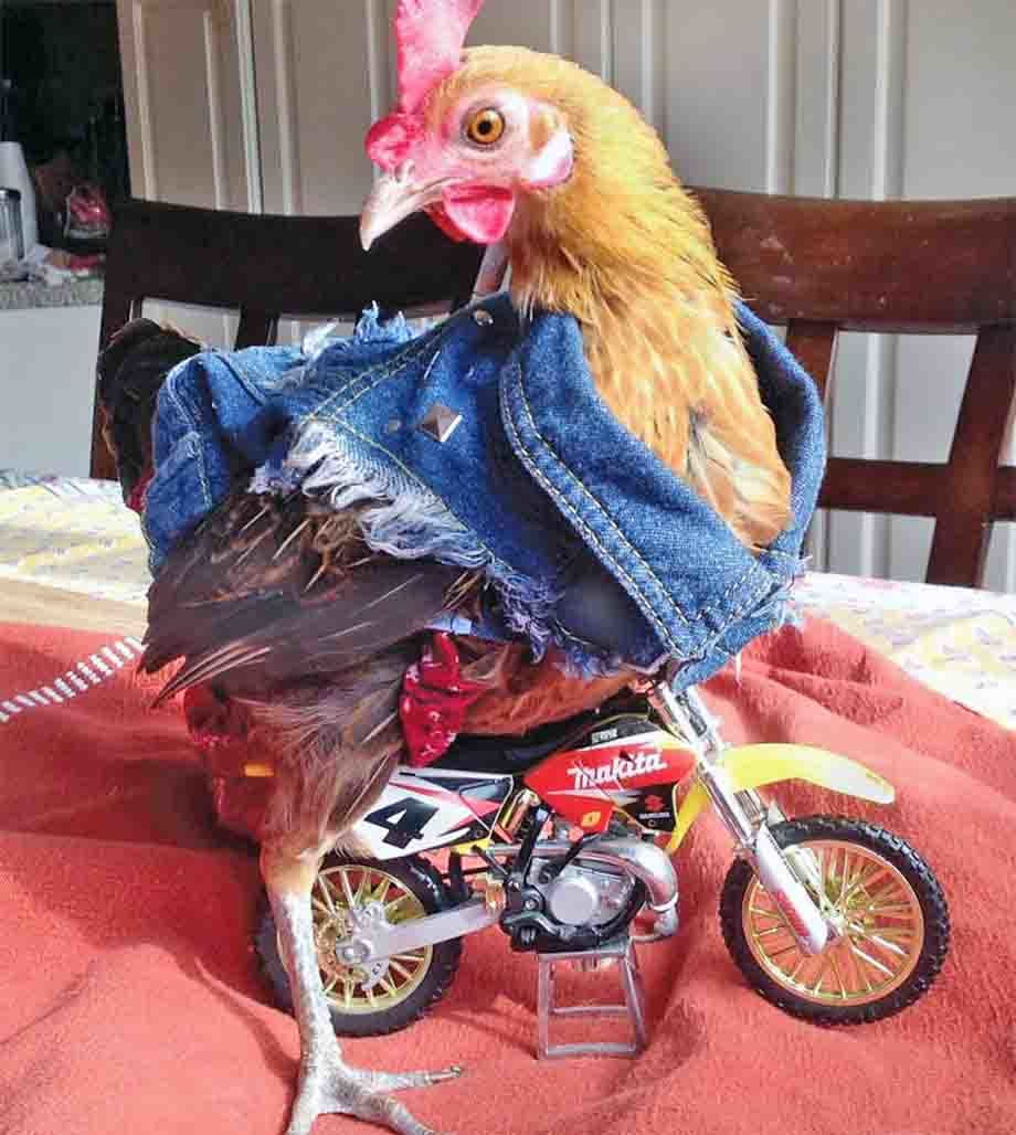 ChickenMotorcycle.jpg