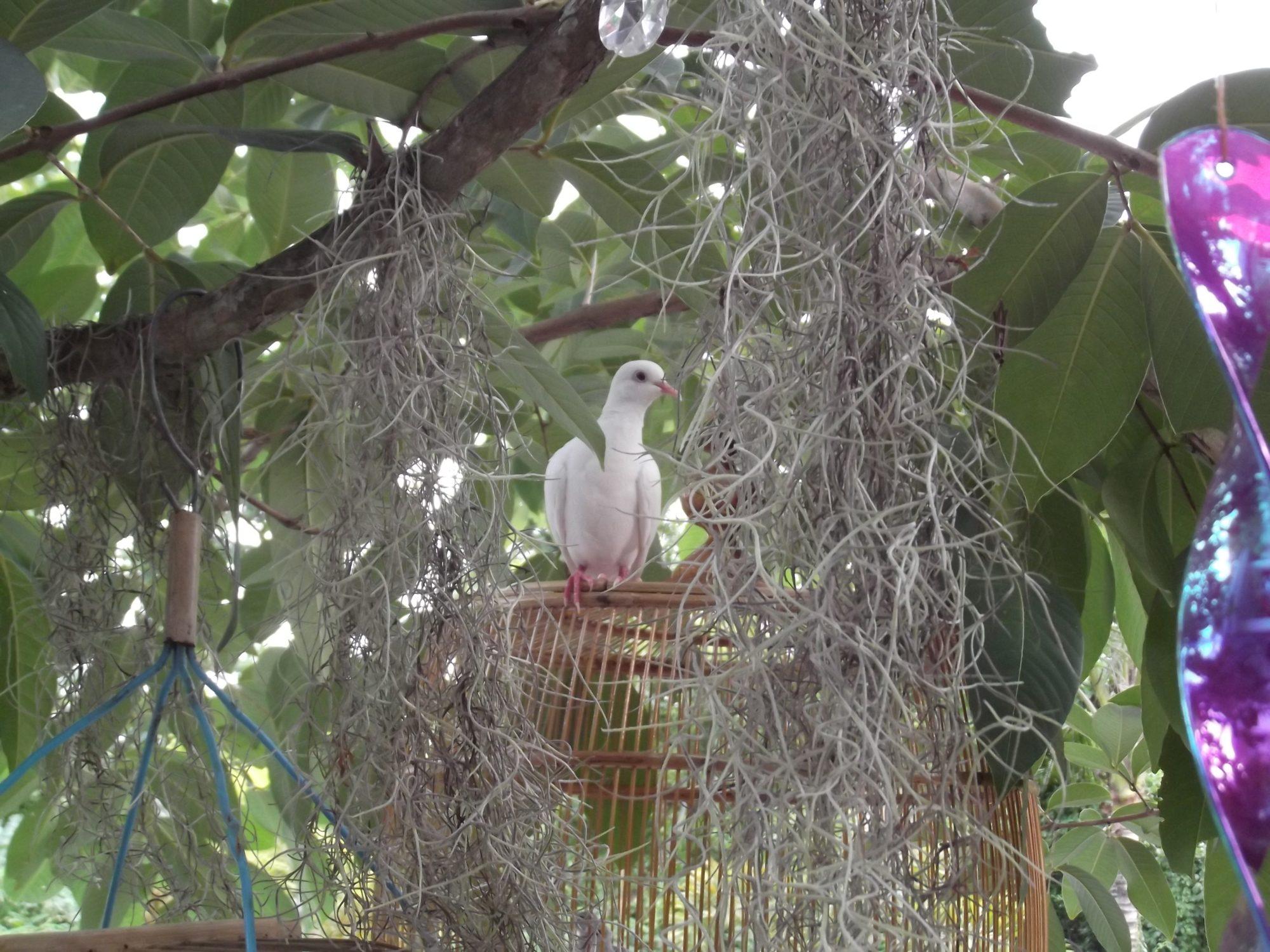 Free Flying Doves 001.JPG
