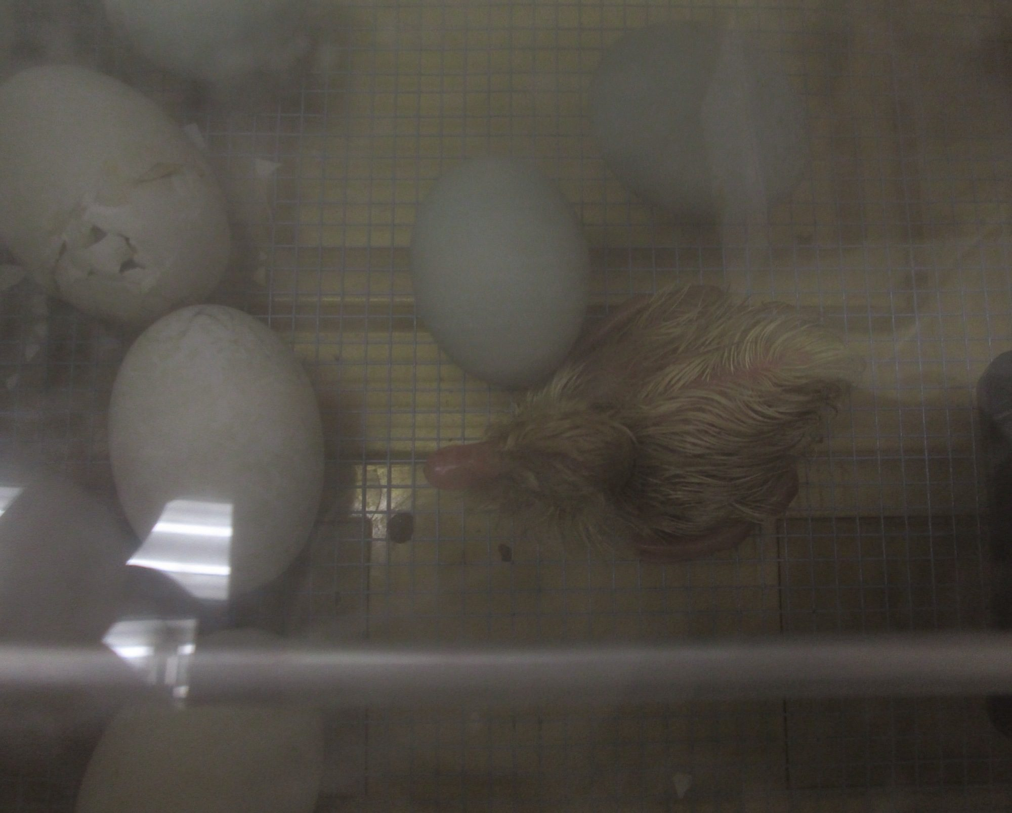 The first one to hatch was a Pekin.