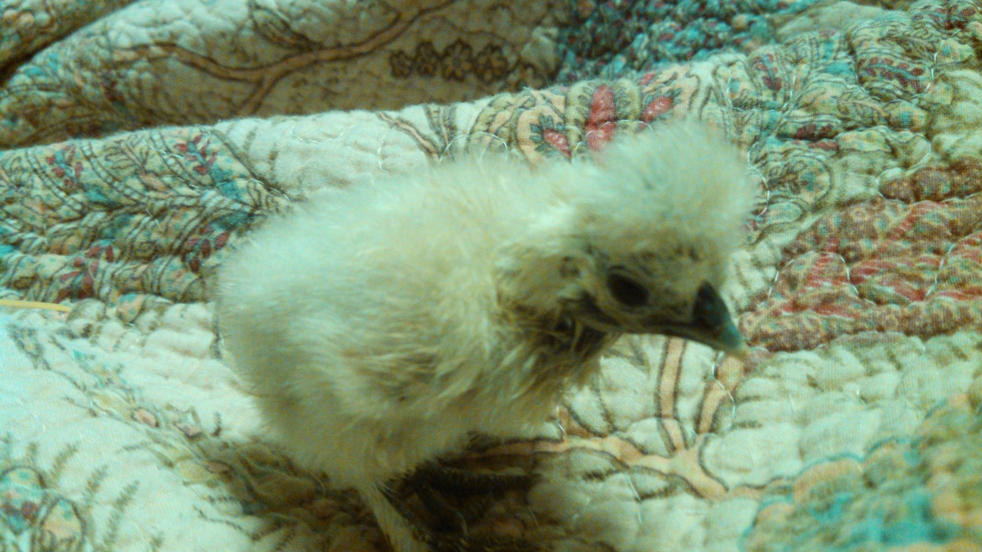 Silkie, labeled as a splash. Appears to have solid yellow down (fuzz). Correct skin, shanks, and toes.