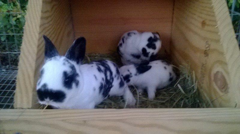 Baby mini rex bunnies