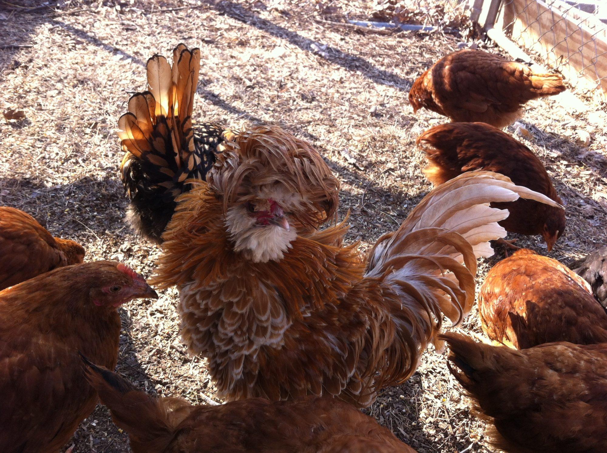 Chickens I Like