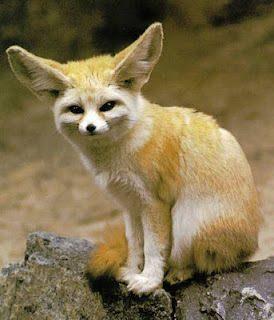 Fennec-Fox-05.jpg