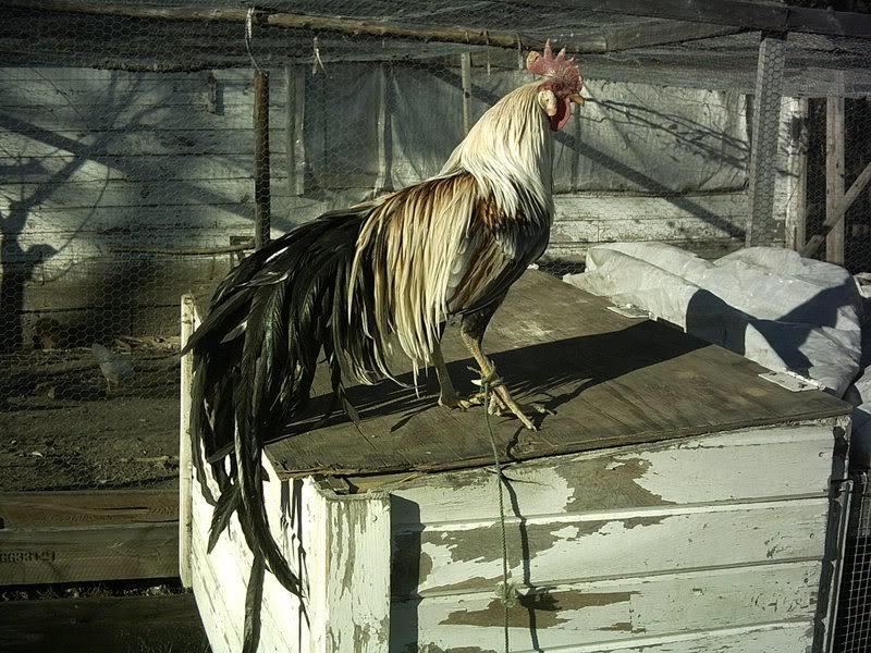 sumi's photos in Chicken Breed Focus - Phoenix