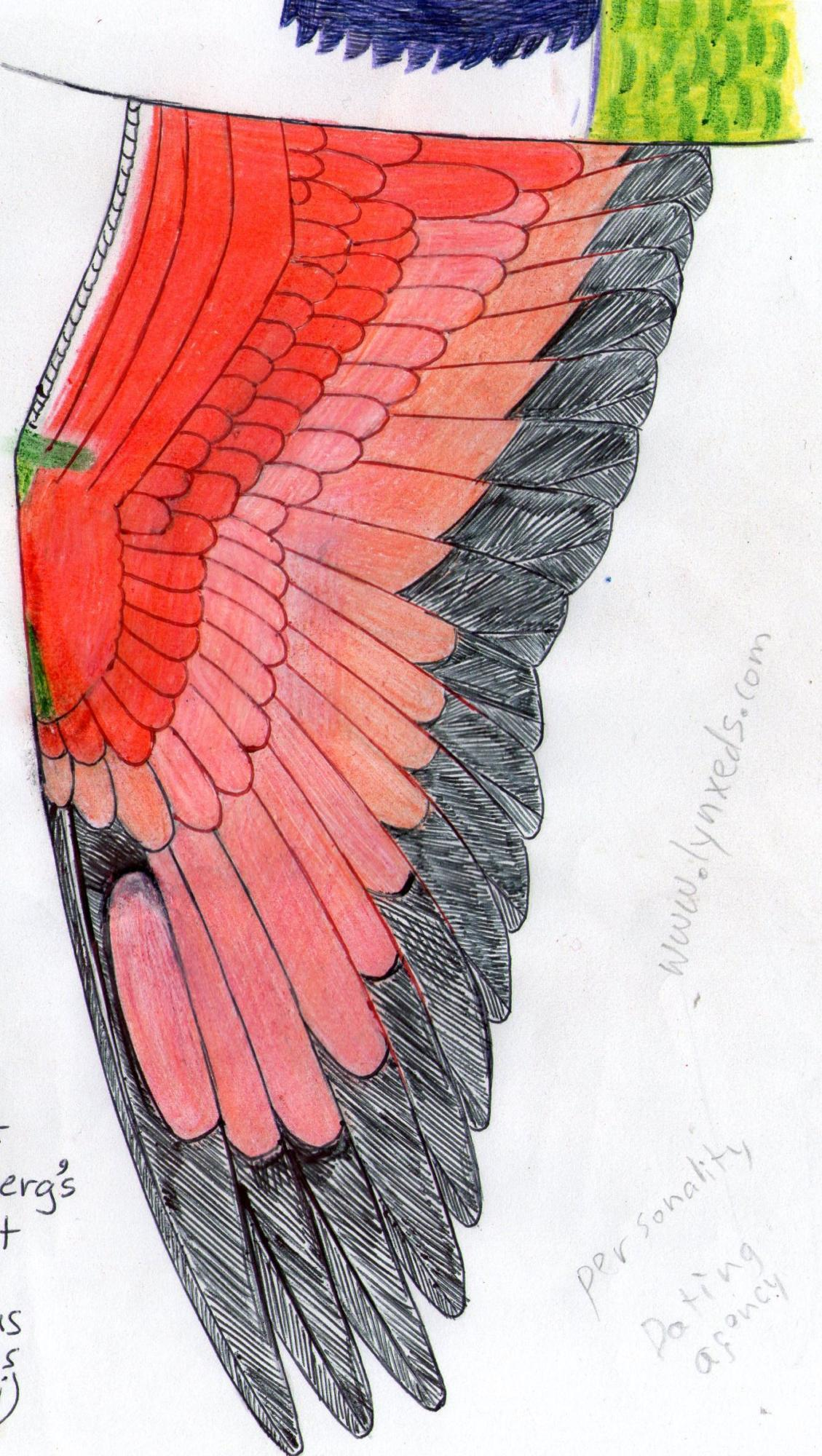 Wing of Rosenberg's lorikeet  (trichoplossus haematodus rosenbergii)