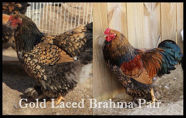 Gold Laced Brahma 1 copy.jpg