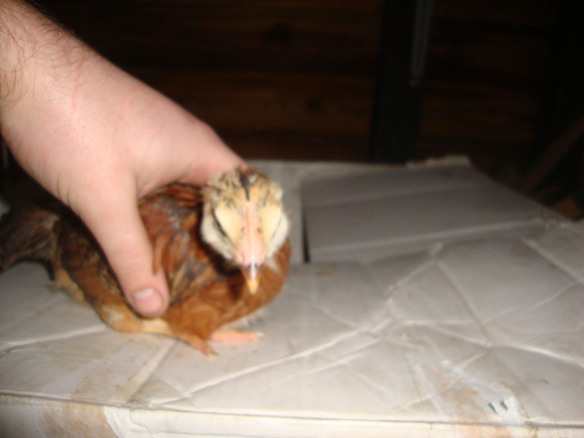 chick3 (3).JPG