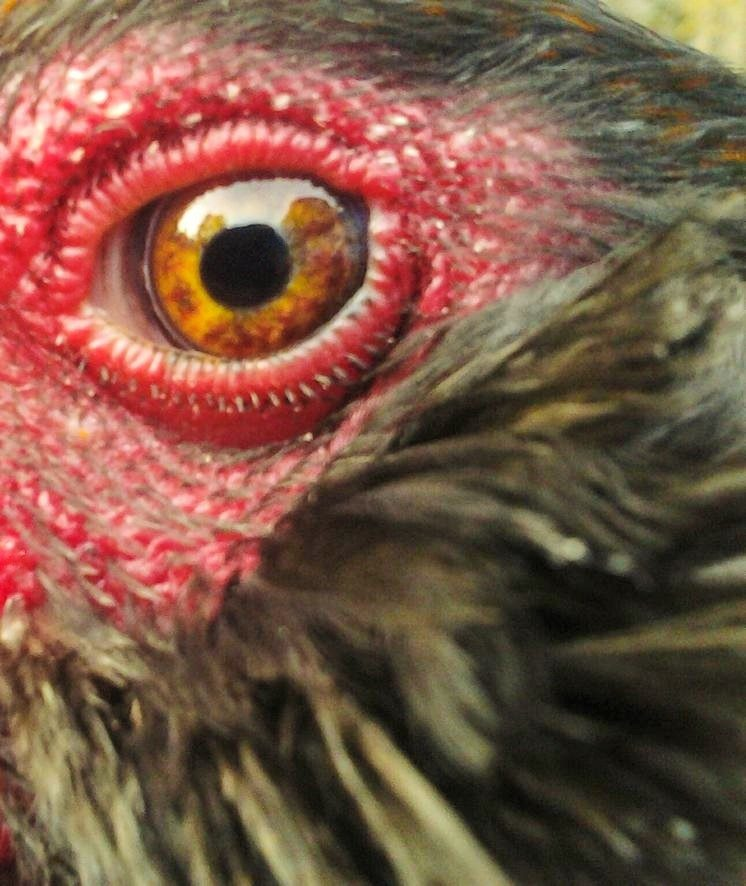 What color are your chicken's EYES?