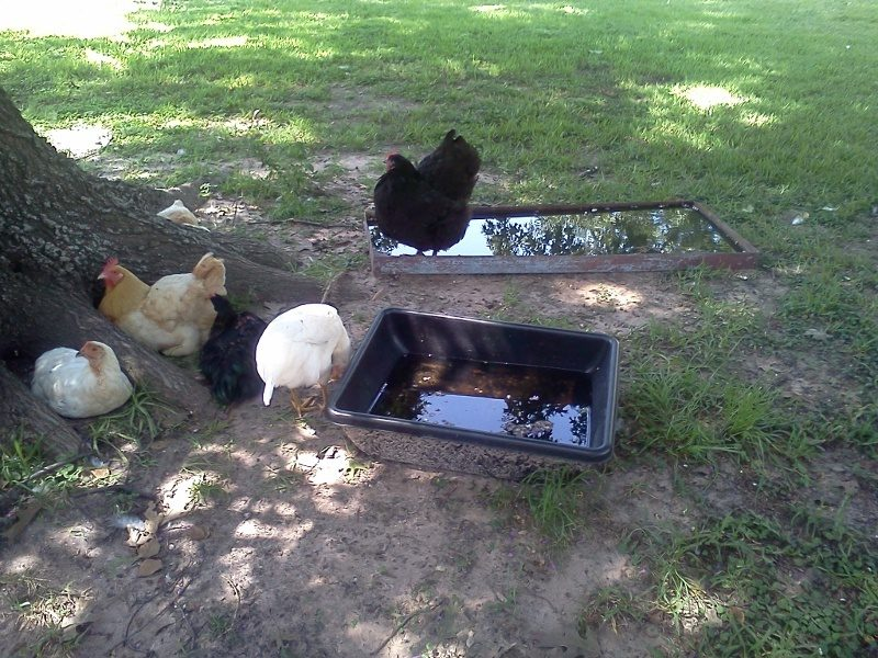 galanie's photos in Help with chickens and quail needed. Appear to be drinking themselves to death.