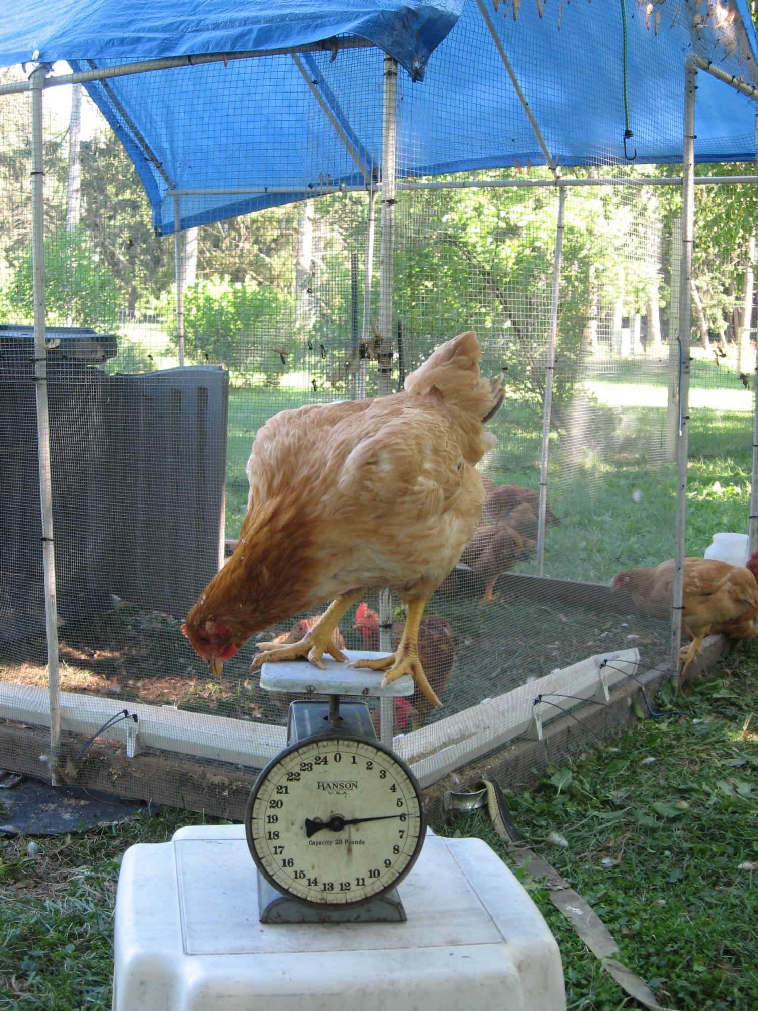 Life is Good!'s photos in PVC chicken run for 10 hens!!!!