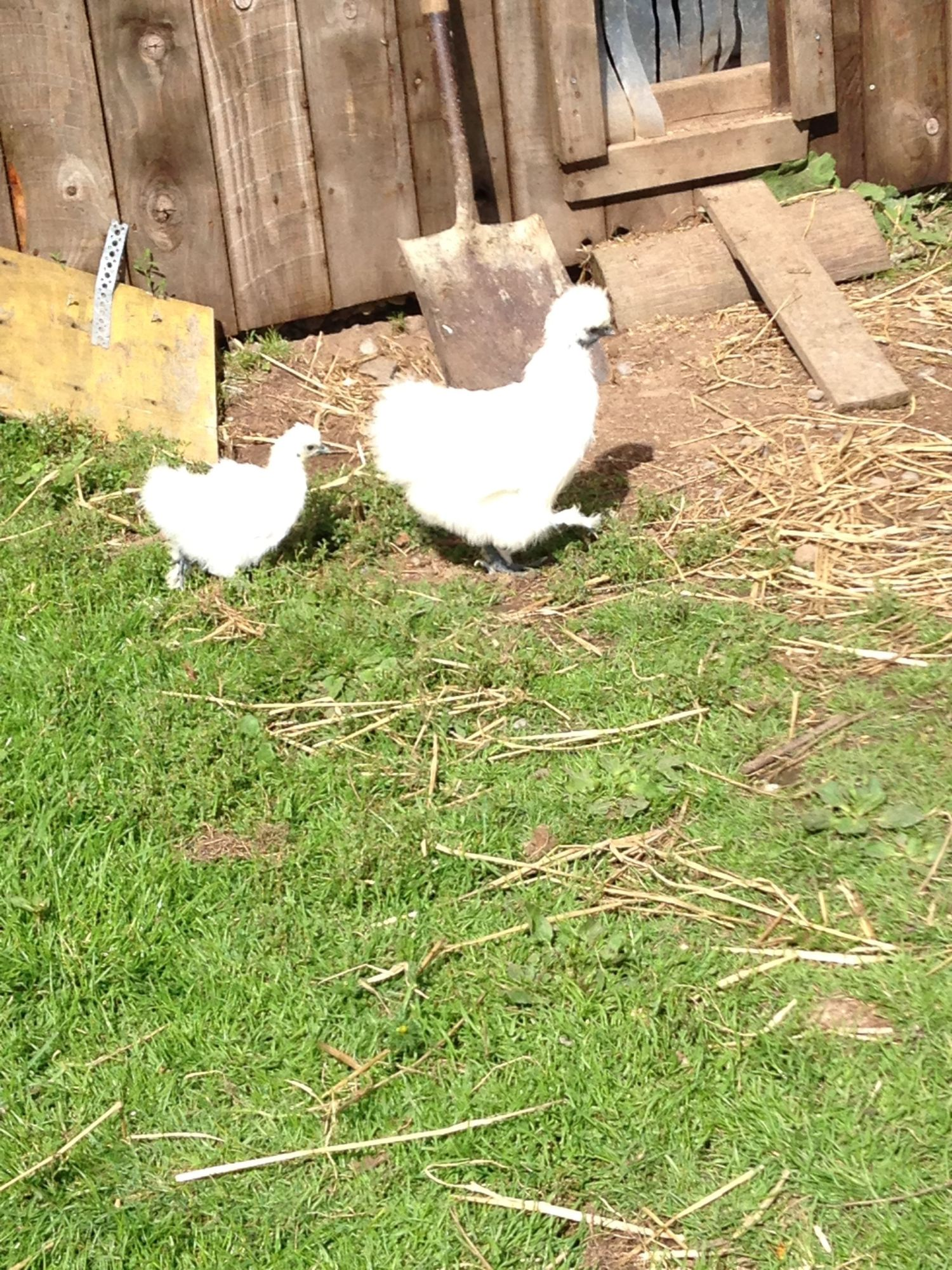 Moving a broody hen and her egg