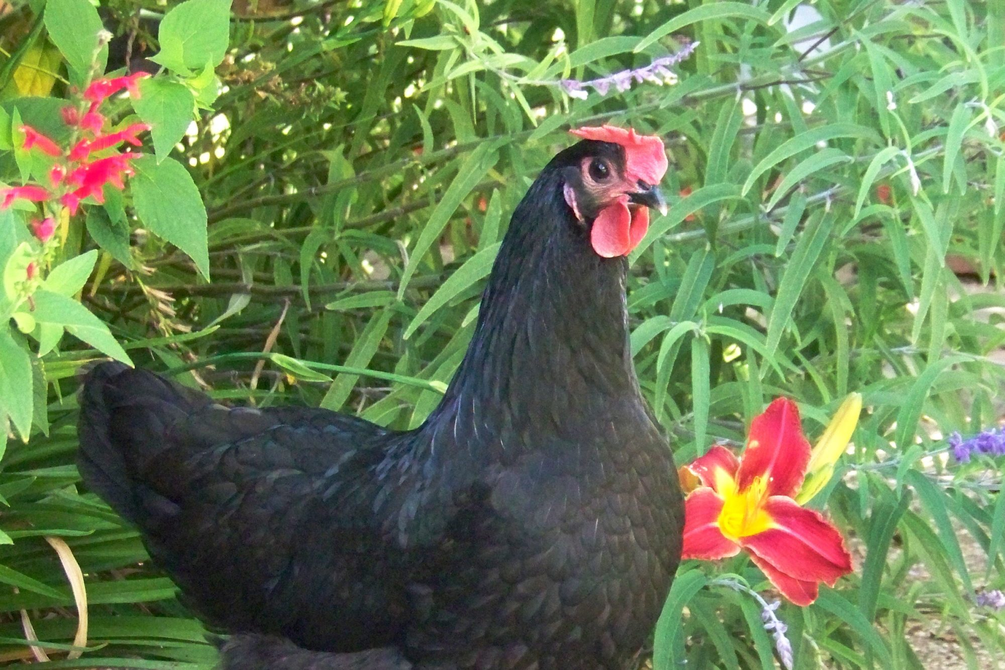 Pearl, benevolent boss chicken, black widow eating, tiny brown egg laying machine.