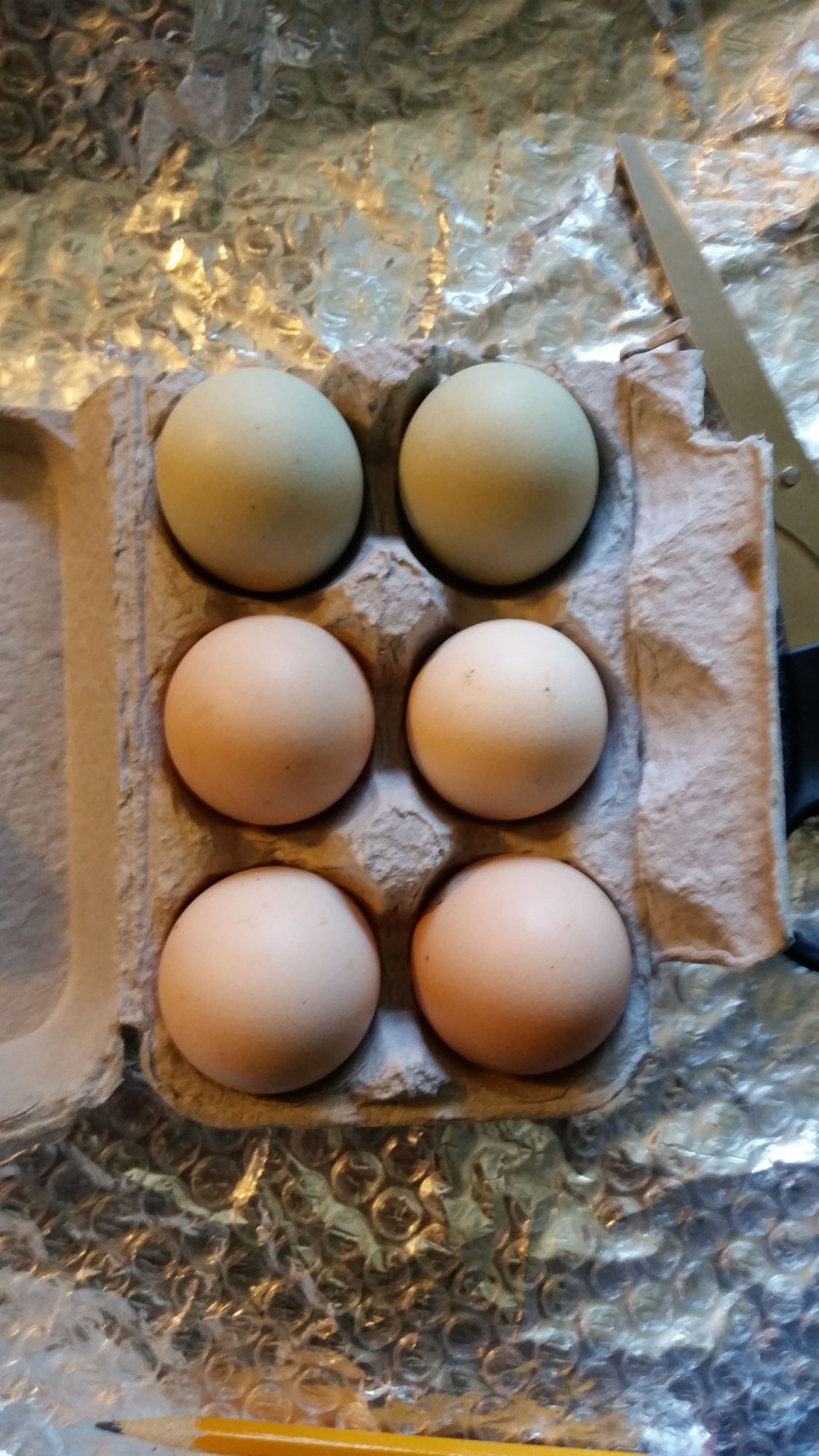Pyxis's photos in Ayam Cemani Hatching Eggs