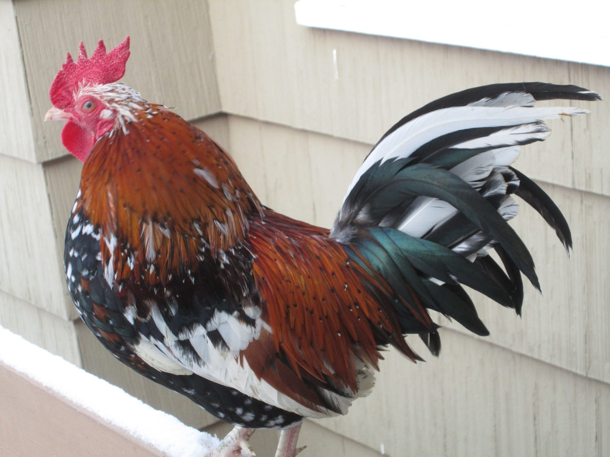 Herducks's photos in NYD Hatch-along Contest #21: Most Colorful Rooster