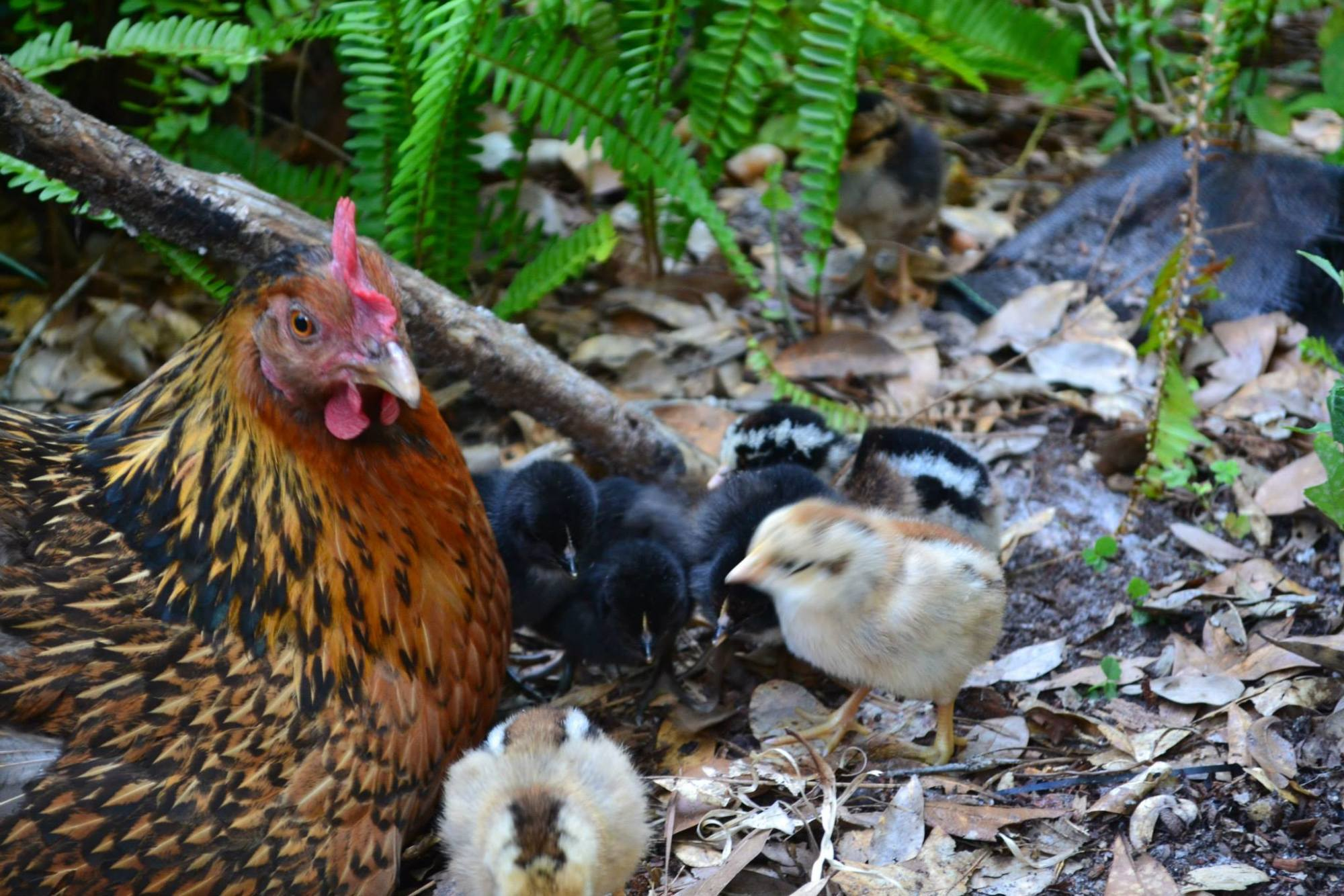 nova022's photos in Contest #3 Cutest Baby Fowl - 8th Annual BYC Easter Hatchalong