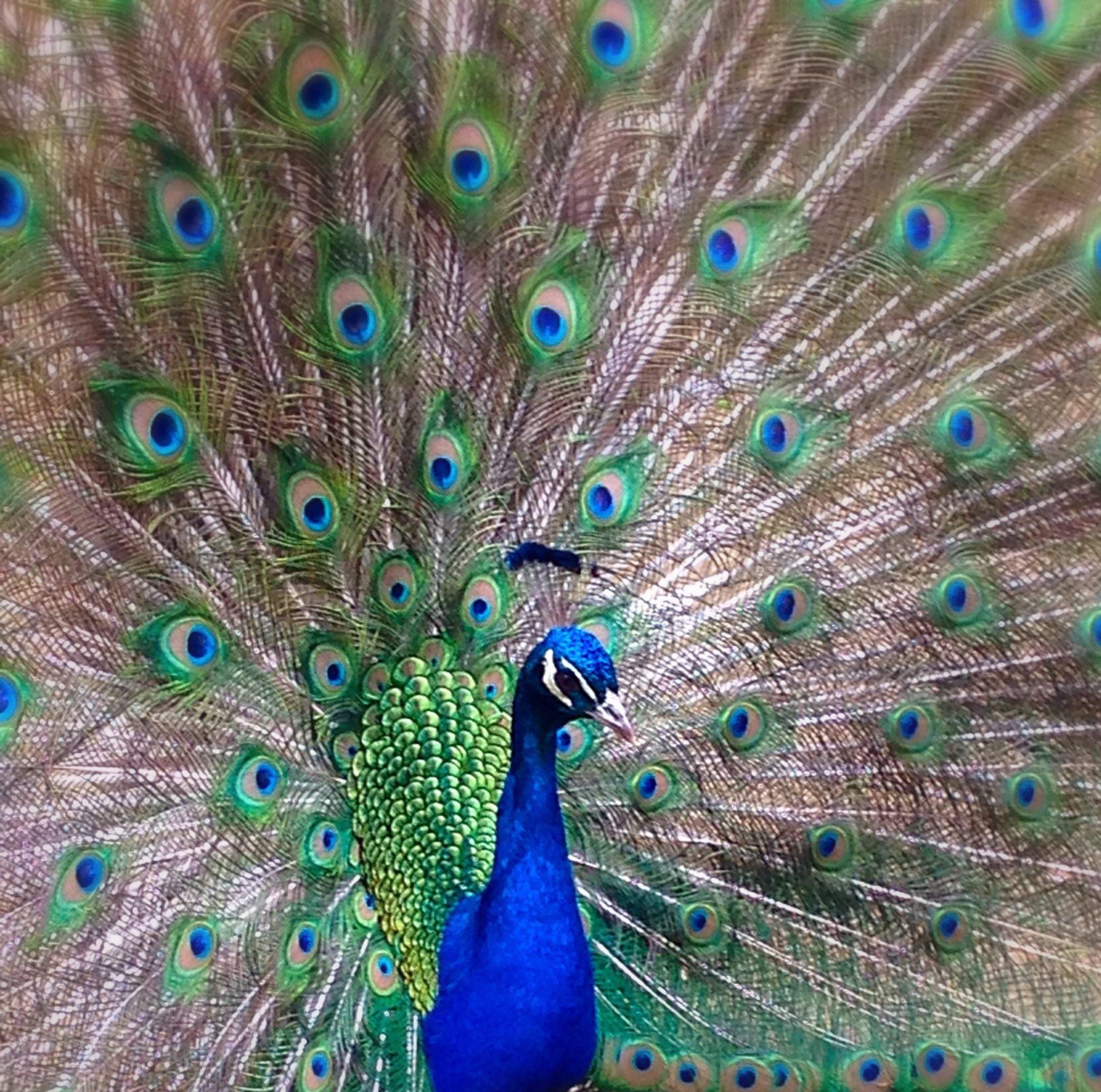 Peacock!