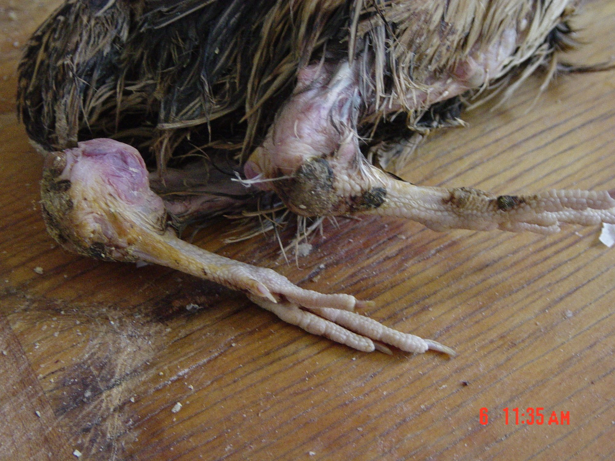 Lobzi's photos in Does anyone recognize this leg joint issue in my deceased quail?