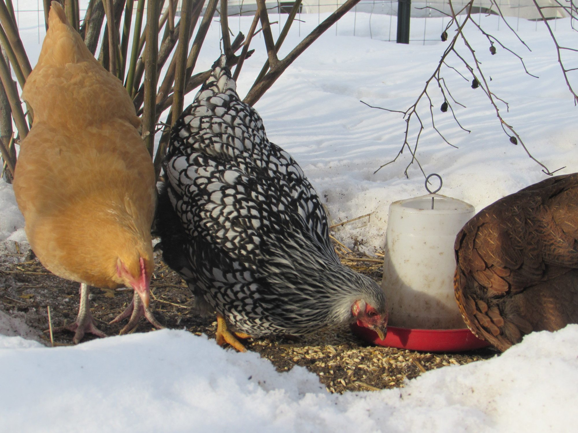 Lizardlicks's photos in 2017 Groundhog Day Hatch-a-long Chickens in the Snow contest!