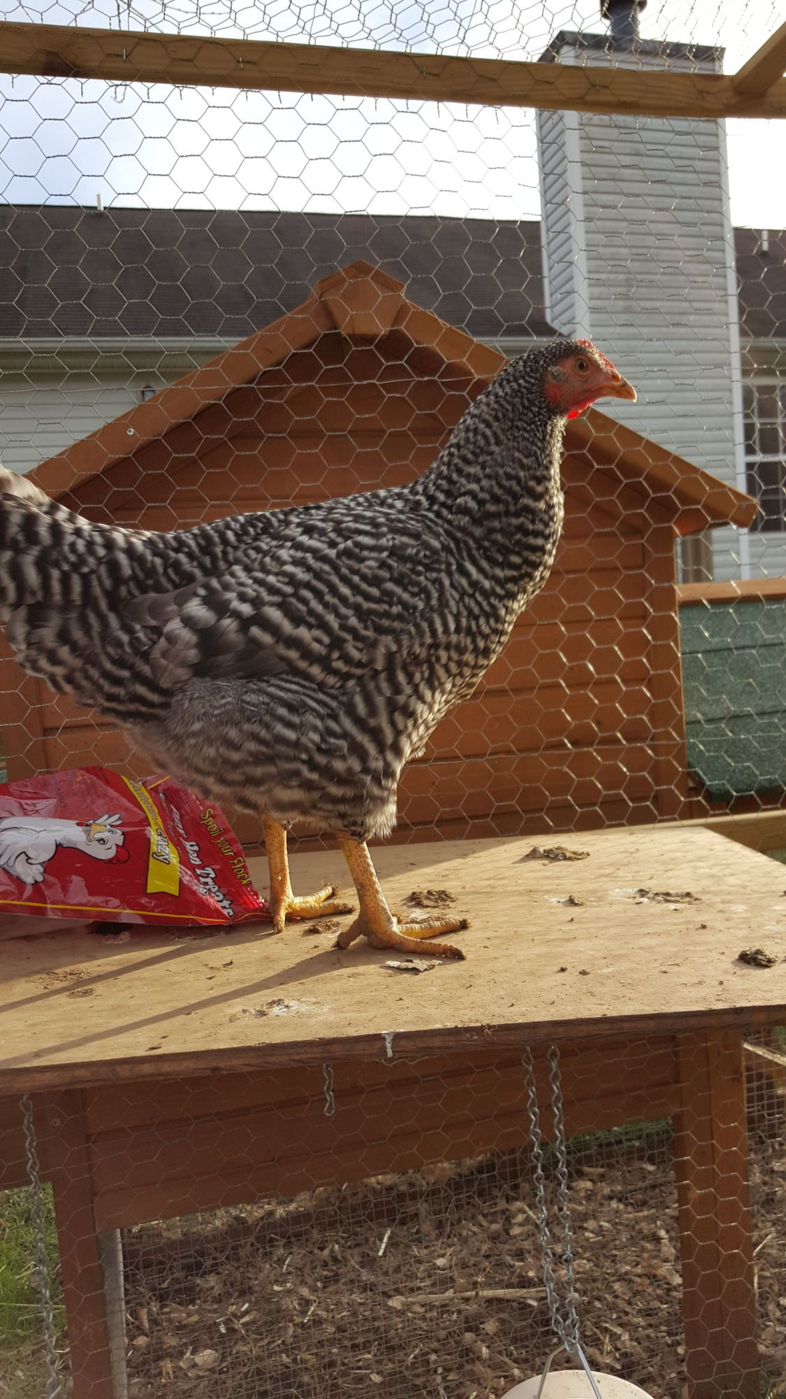 Lola the Barred Rock
