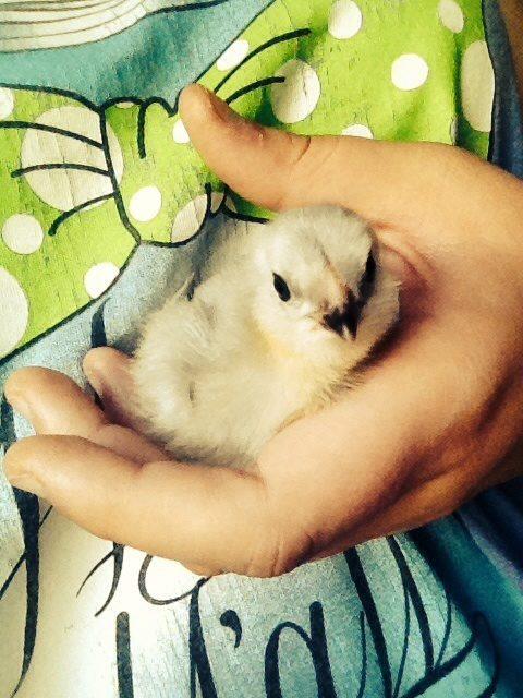 Lavender Am chick