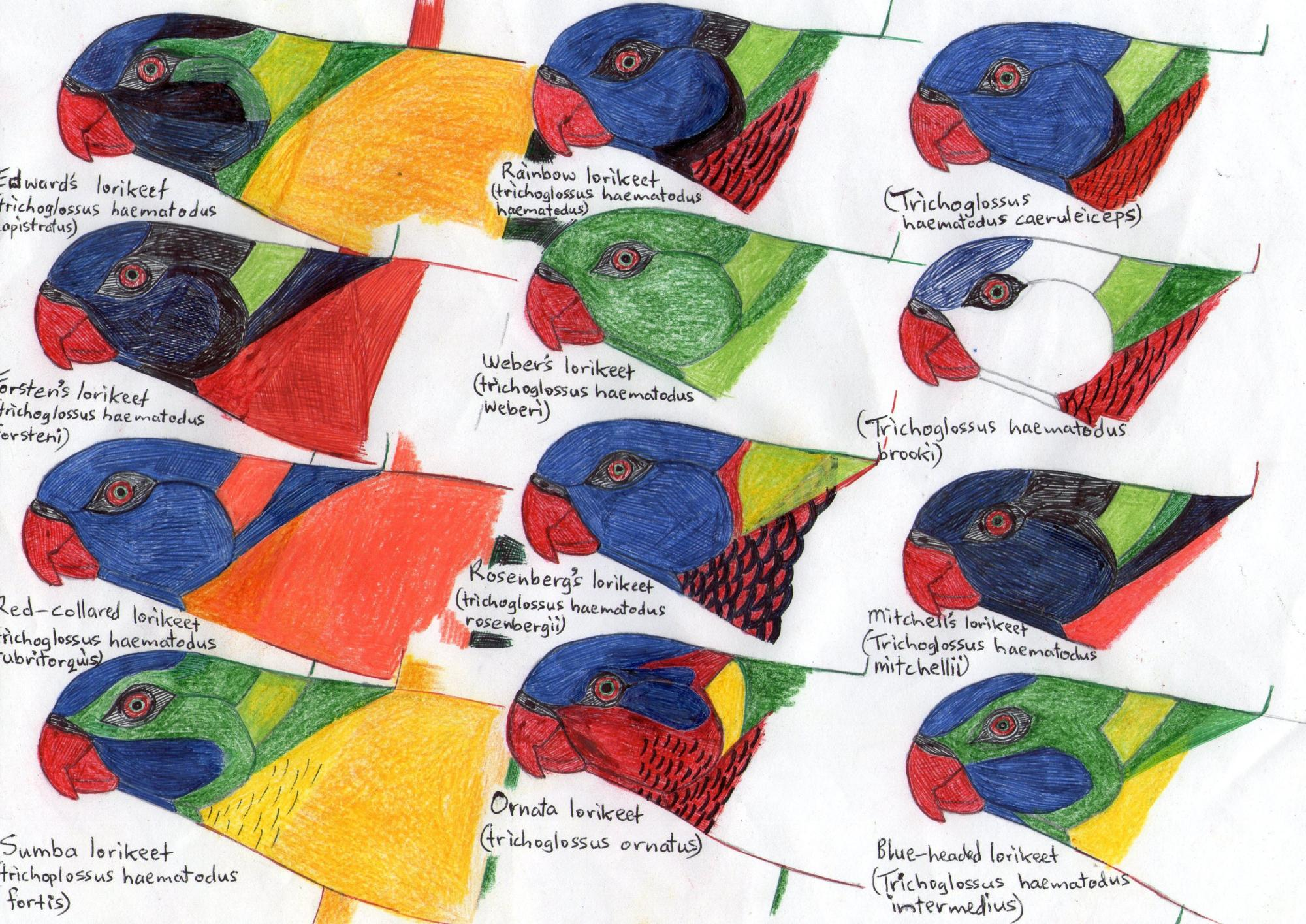 Heads of subspecies of rainbow lorikeets.