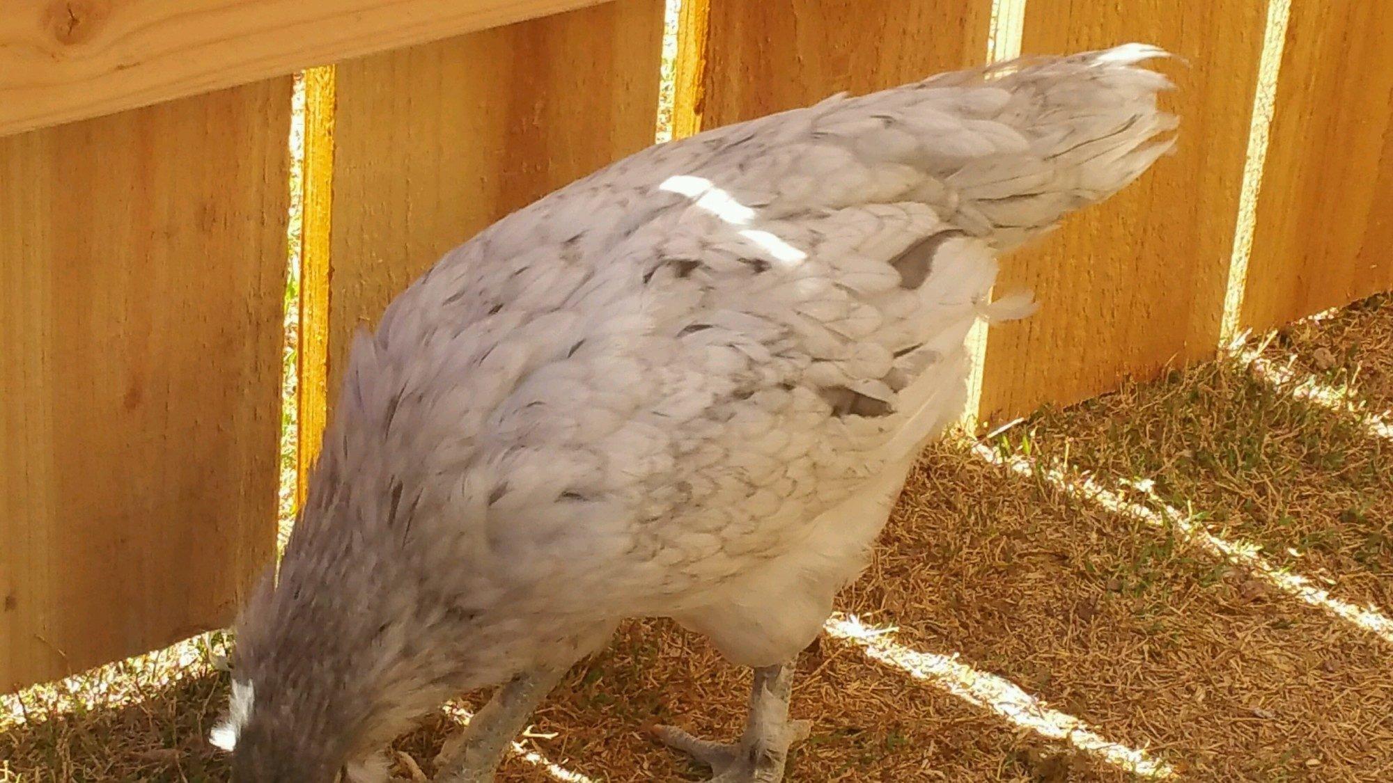 Olive Egger tail
