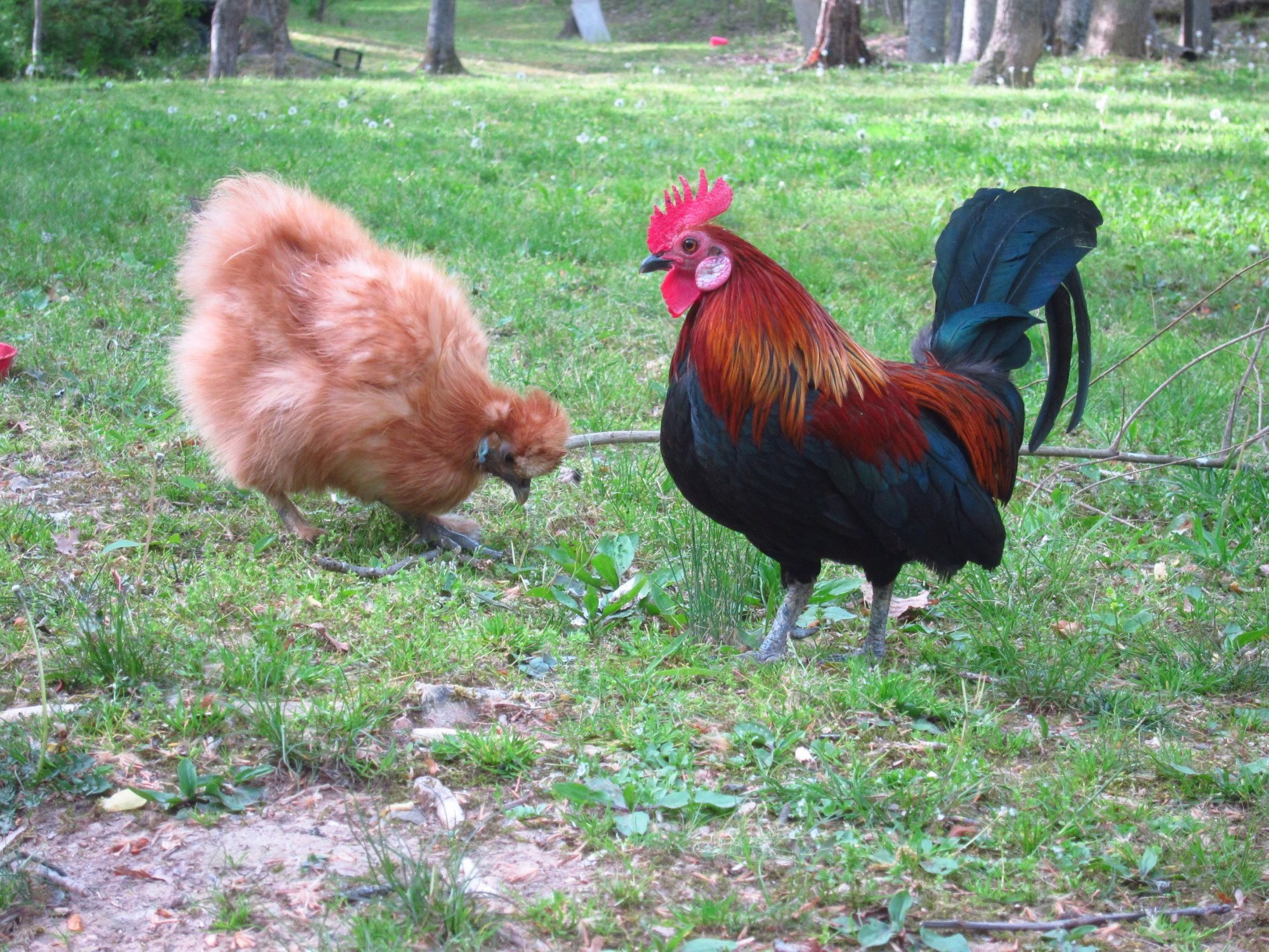 The Pro's and Cons of roosters.