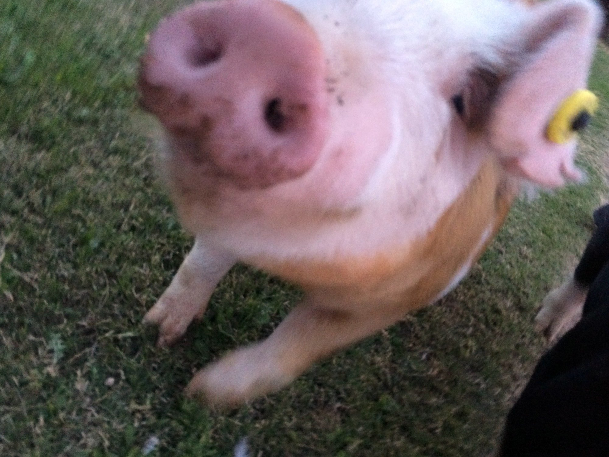 Chicken gurl's photos in Pigs, pigs and more PIGS!!!!