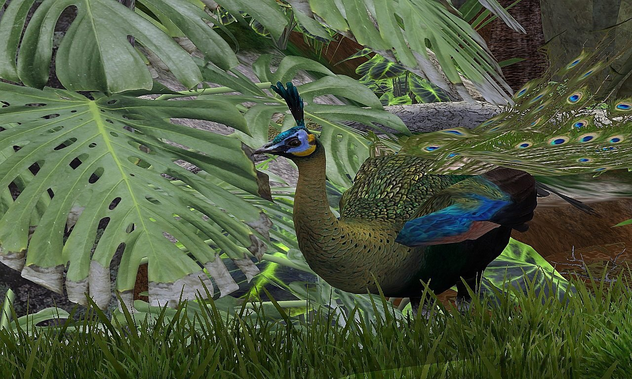 """"""" Vingt Dieux """" !!!!_Archives_ - Page 5 900x900px-LL-0efe537f_WildPeacock"""