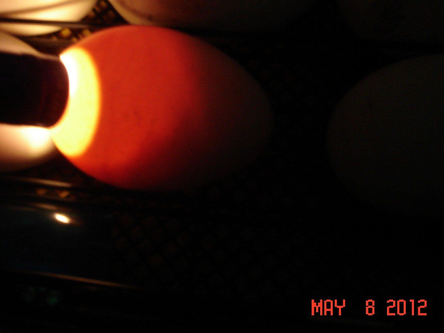 goose eggs day 14 Egg 5.JPG