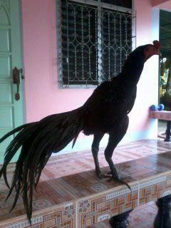 gallorojo's photos in Sumatra Thread!