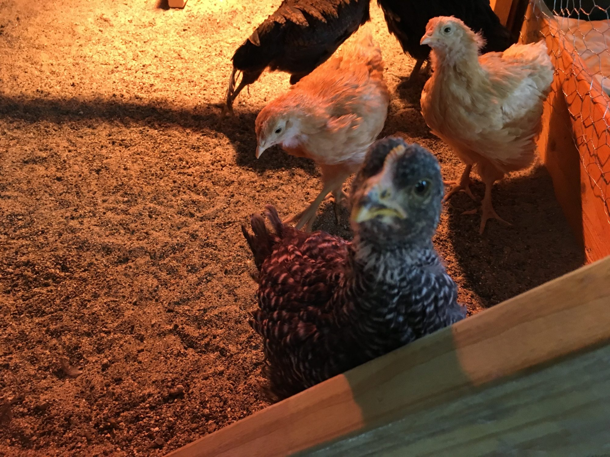 Chickens at Sweet Pea's Rustic Roost