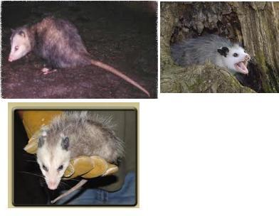 CluckyCharms's photos in Possums Vs. Opossums