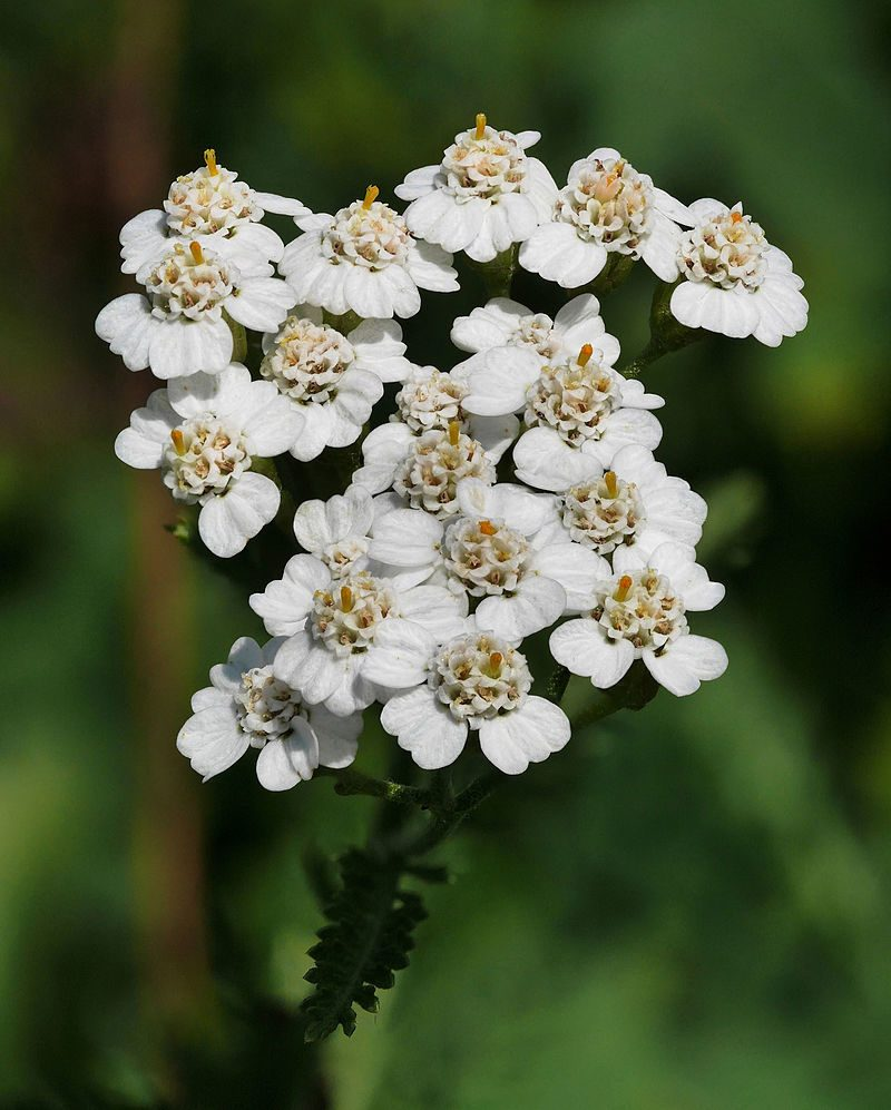 File source: https://commons.wikimedia.org/wiki/File:Yarrow_(Achillea_millefolium).jpg