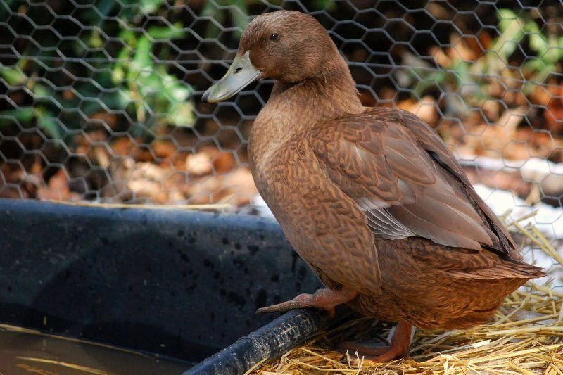 Understanding Backyard Duck Behavior  The Cape Coop