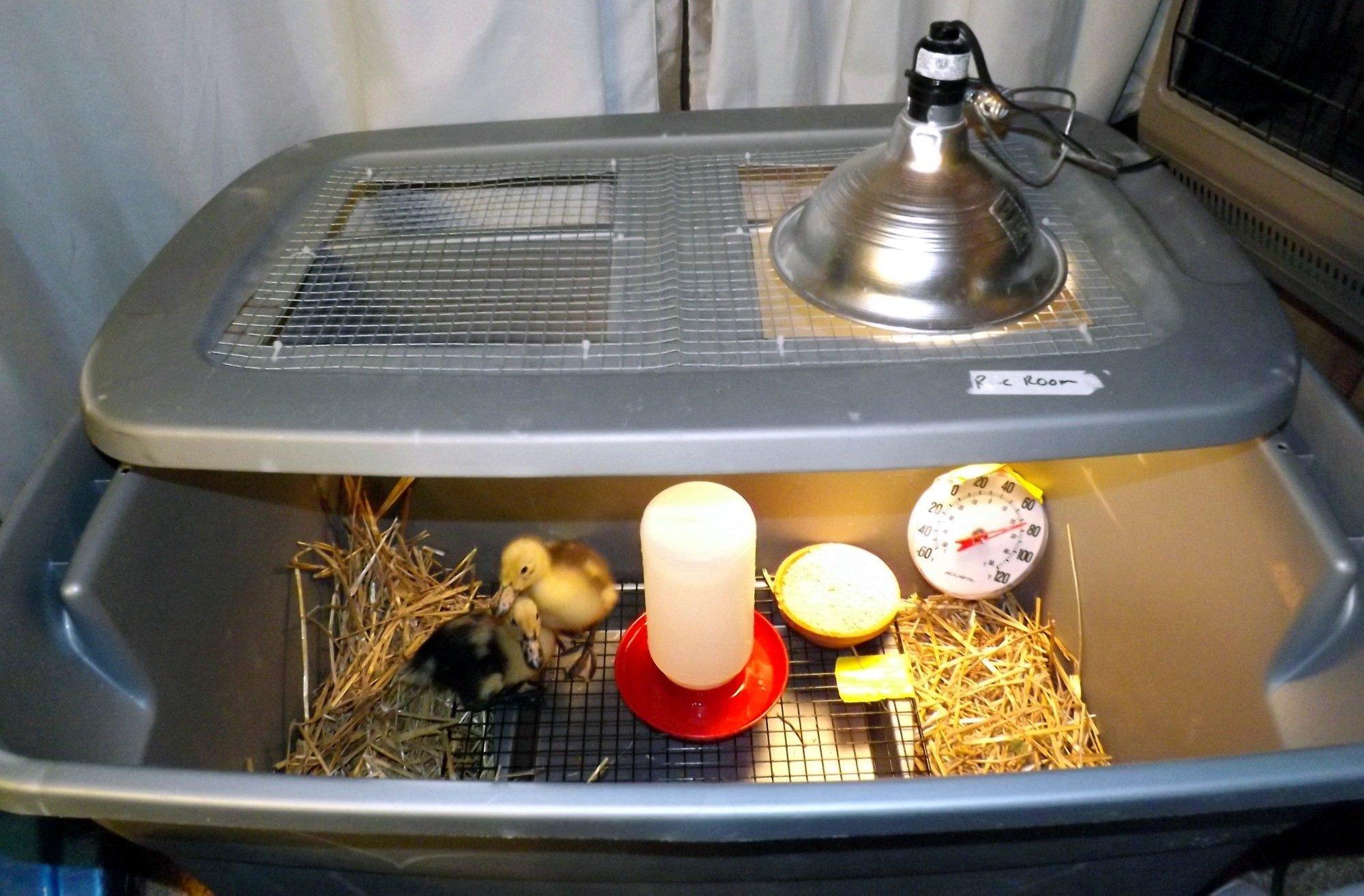 duckling care brooder ideas backyard chickens community. Black Bedroom Furniture Sets. Home Design Ideas