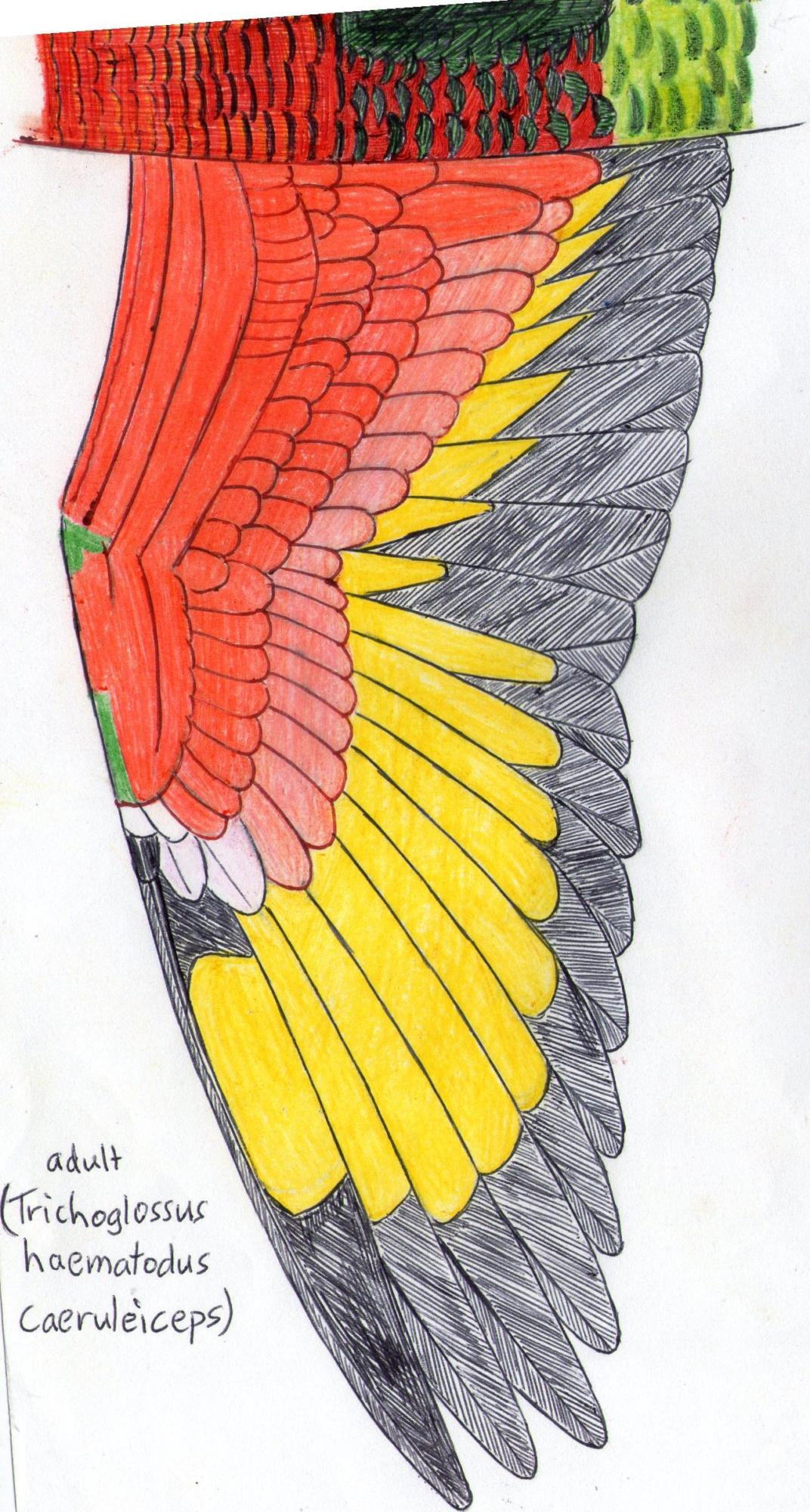 Wing of rainbow lorikeet (trichoplossus haematodus caeruleiceps)