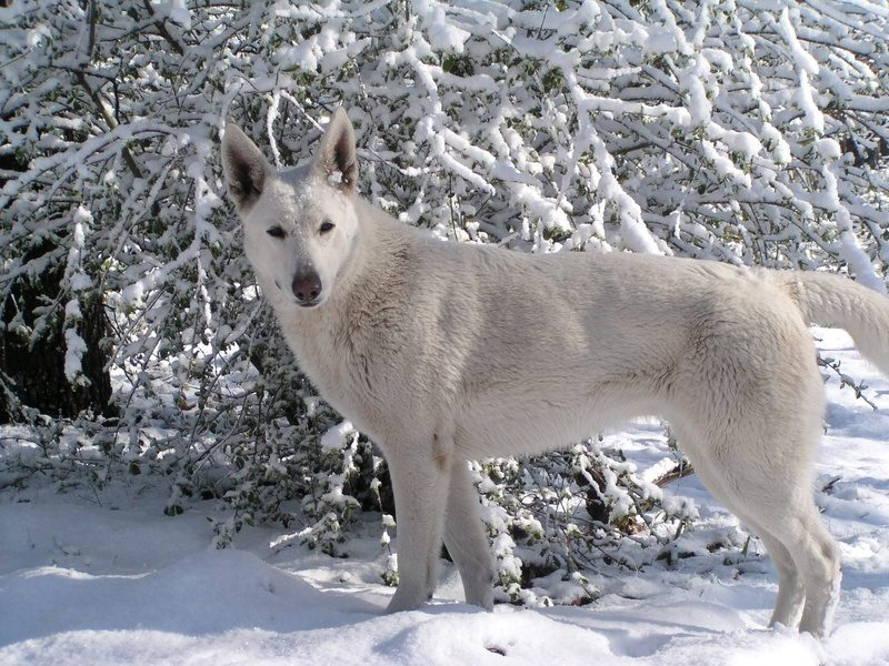 White German Shepherd Puppies With Blue Eyes Username: cochinbrahmalover