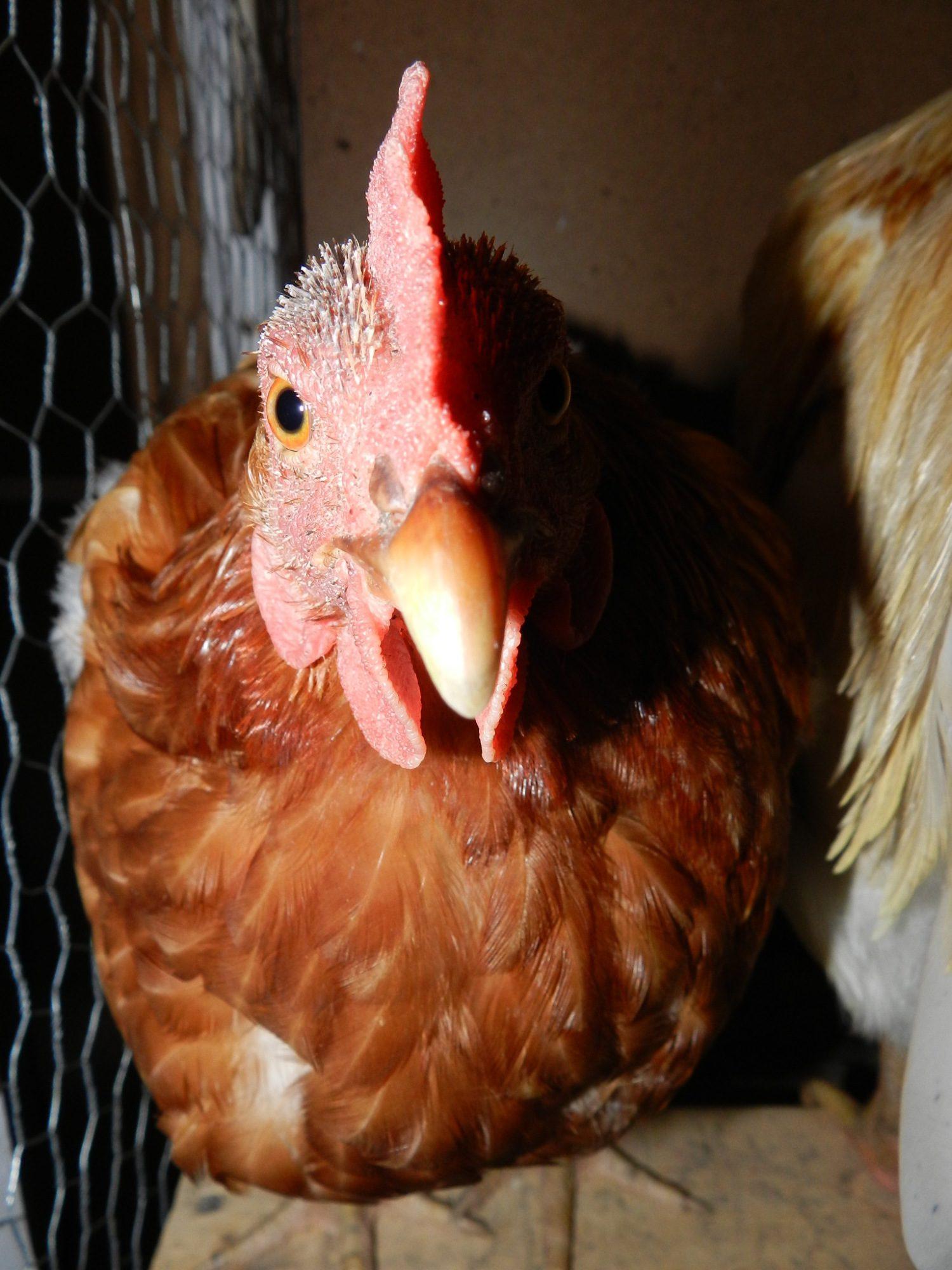 chickens 119.JPG