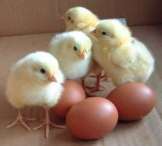 babychickens123