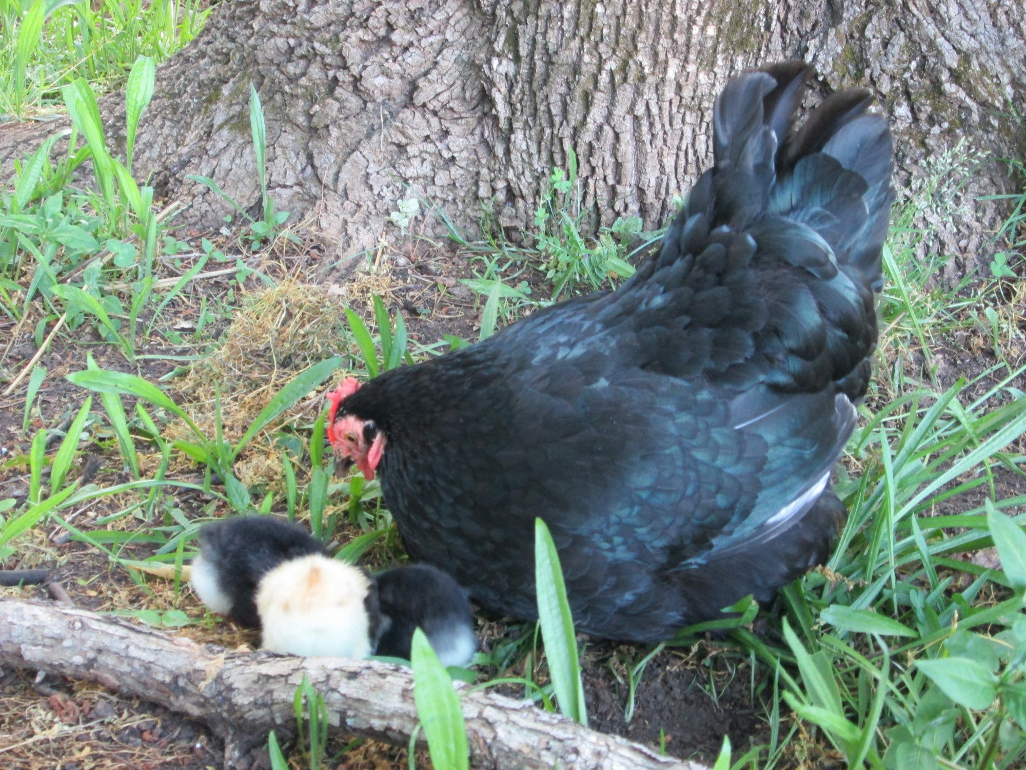 """mymilliefleur's photos in """"Poultry in Nature Photo contest"""" MAY~Land of the Free Because of the brave HAL w/hosts Mike & Sally"""
