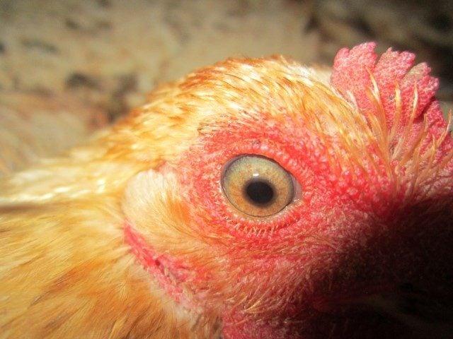 CREDIT: Backyard Chickens Member