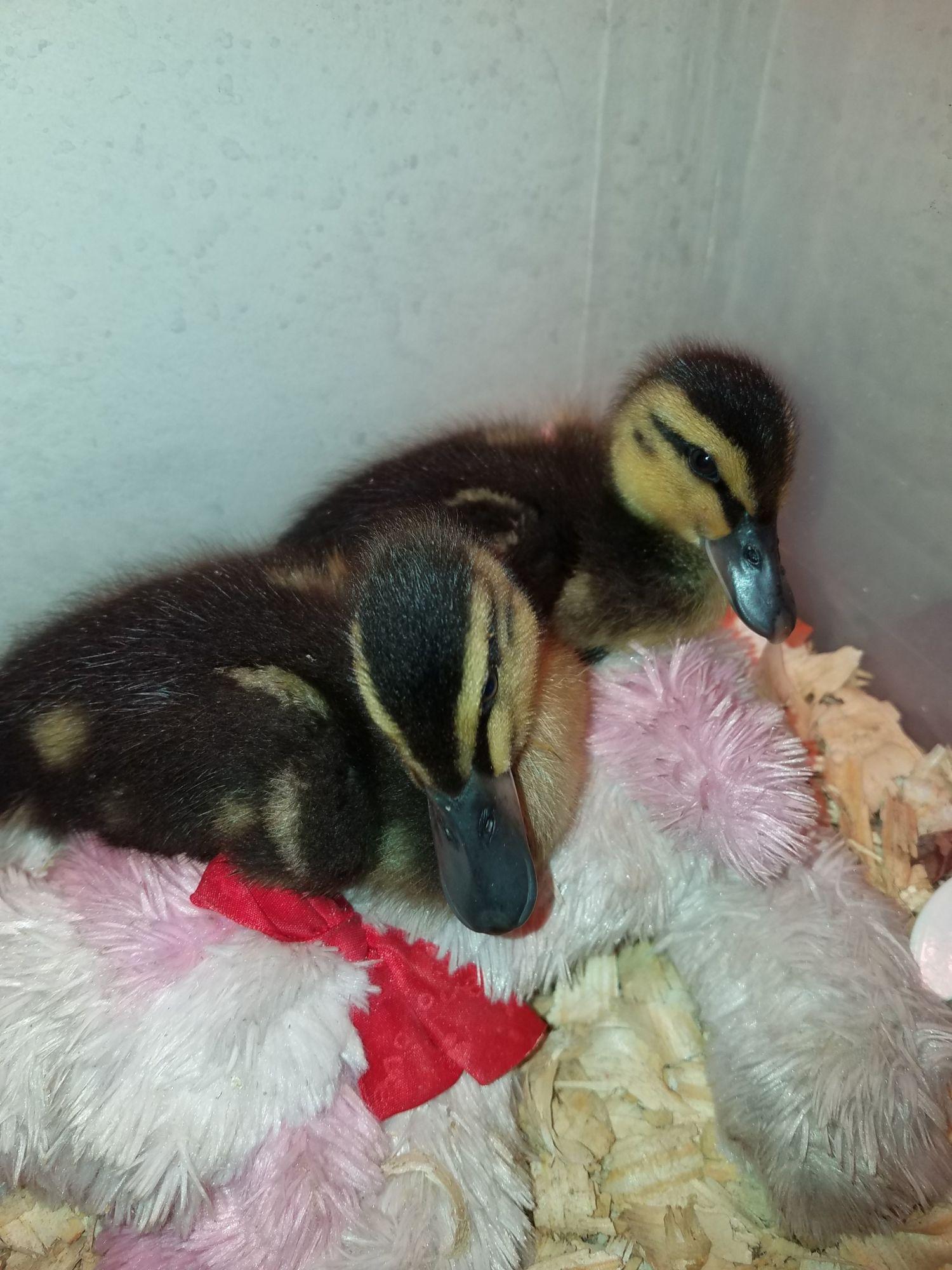 DianeS1978's photos in New at raising ducks