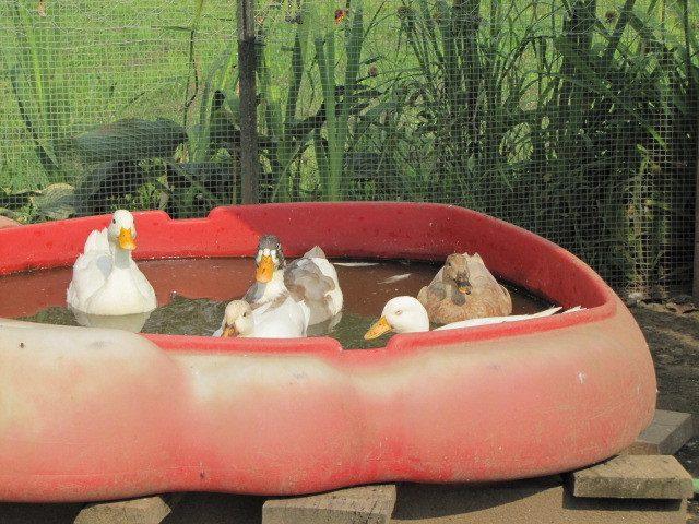 More Call ducks