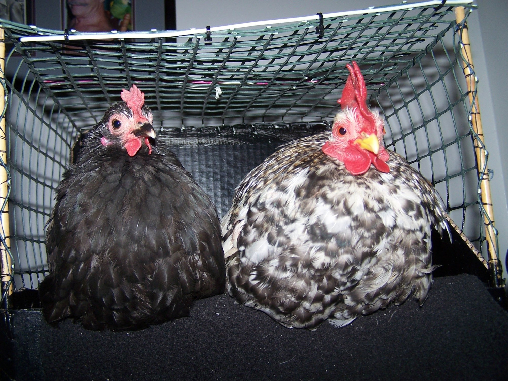 froggiesheins's photos in people with house chickens