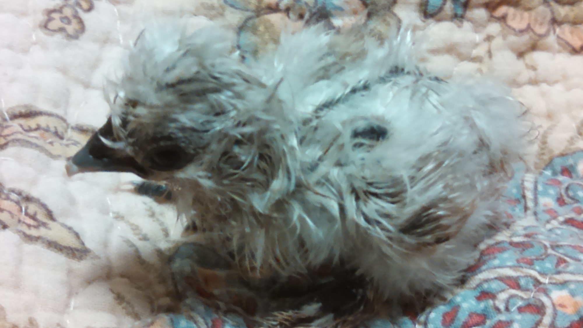 Silkie, labeled as a Sizzle. Silver in coloring. Correct skin, shanks and toes. Has a twin (separate egg babies just identical appearance)   Photo Silkie Name: Pricilla (Prissy for short)  Twin Silkie Name: Tipsy