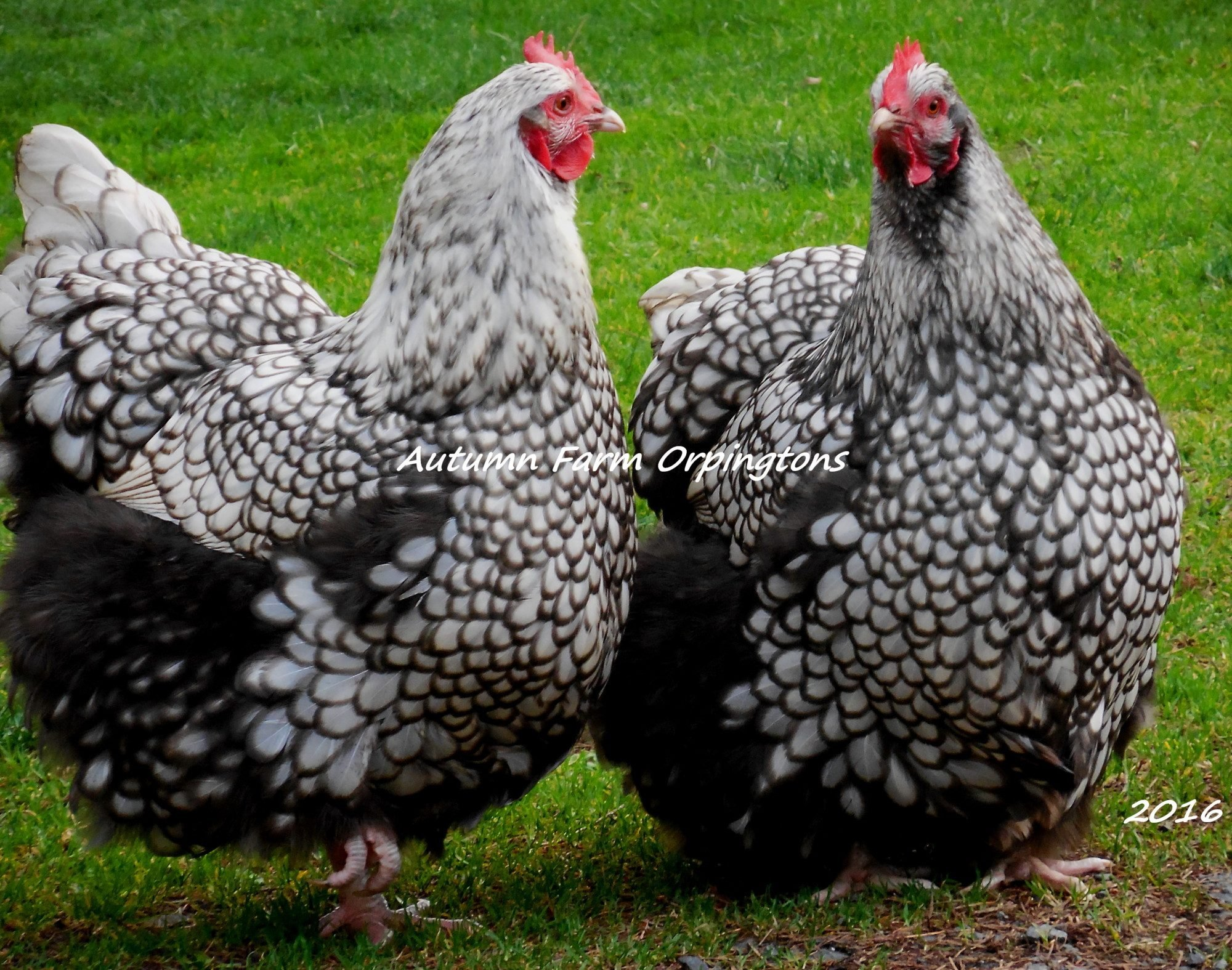 Our foundation Pure English Silver Laced hens, such docile and the sweetest hens!