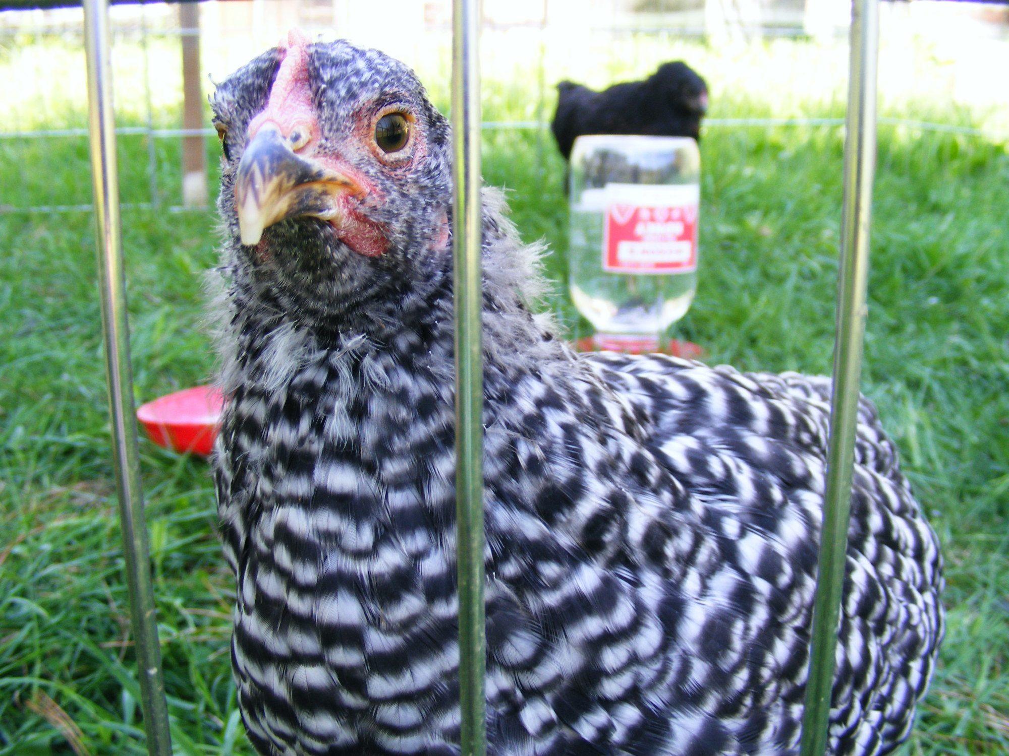 Henrietta - only survivor of 'the big freeze'