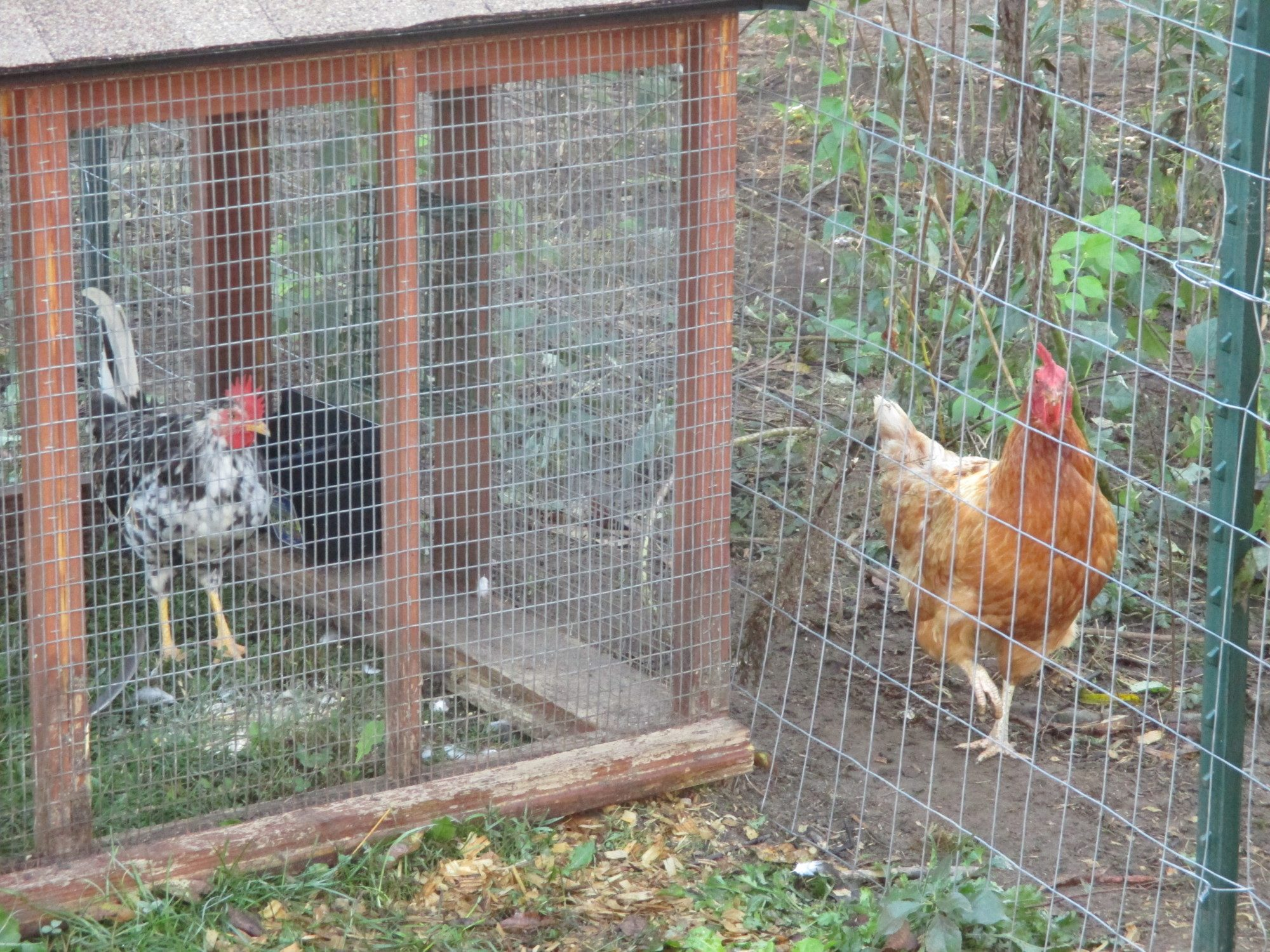 My new little Icelandic Rooster and one of my hens, an Ida Brown checking him out....