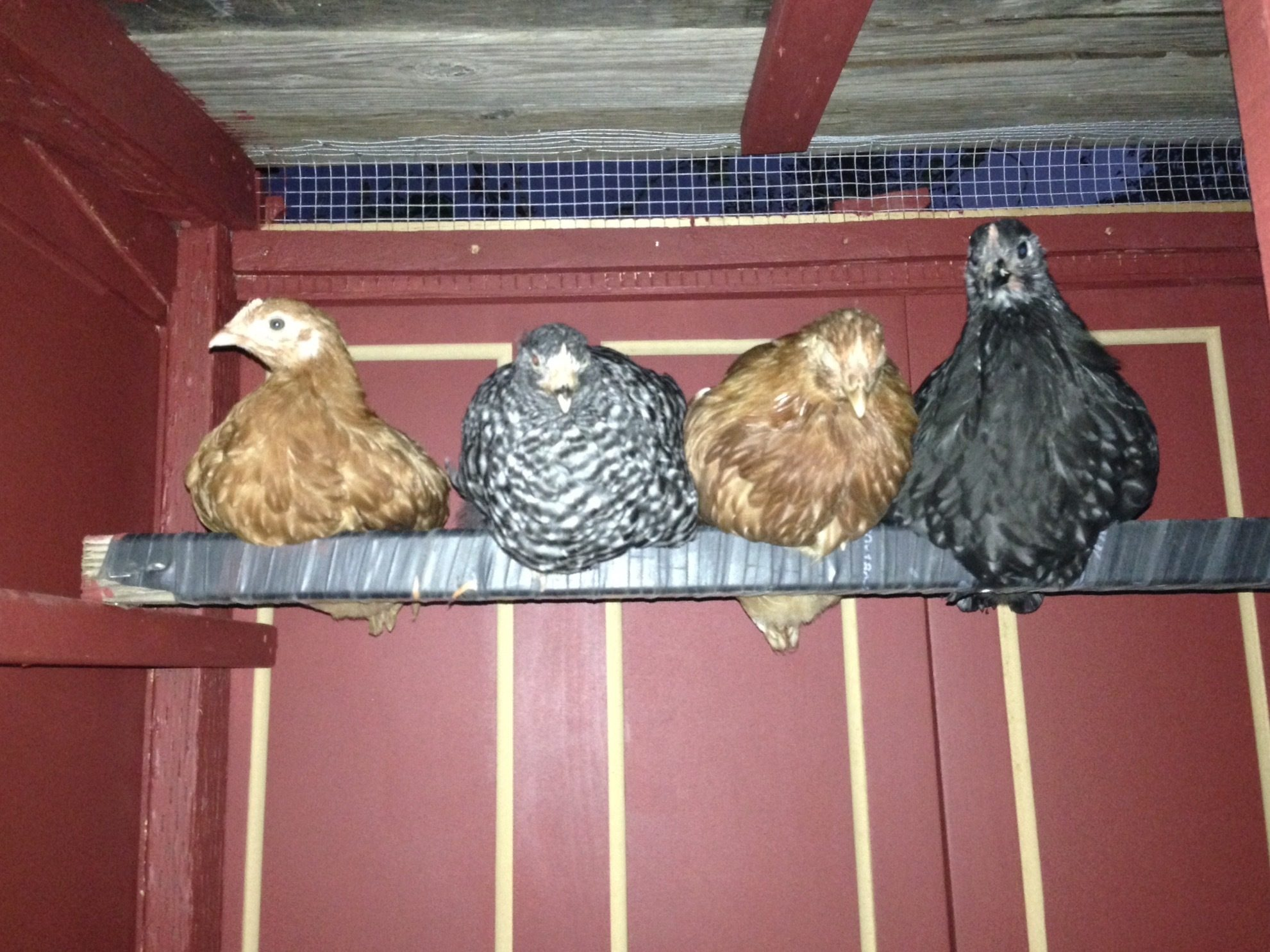 Four new pullets, all of different breeds I didn't have yet! One New Hampshire Red, one Barred Rock, one golden sexlink, and one Australorp. Here they are in their new 2x4 coop. Their roost has inner tube wrapped around it too.